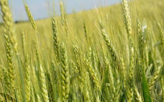 Now the crisis on crops from Toldhakali - Agriculture Department advised to be cautious