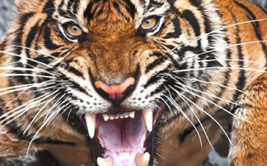 Tiger killed a person in Gadchiroli