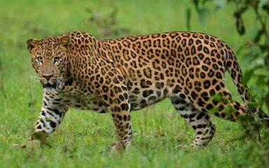Baby girl dies in leopard attack