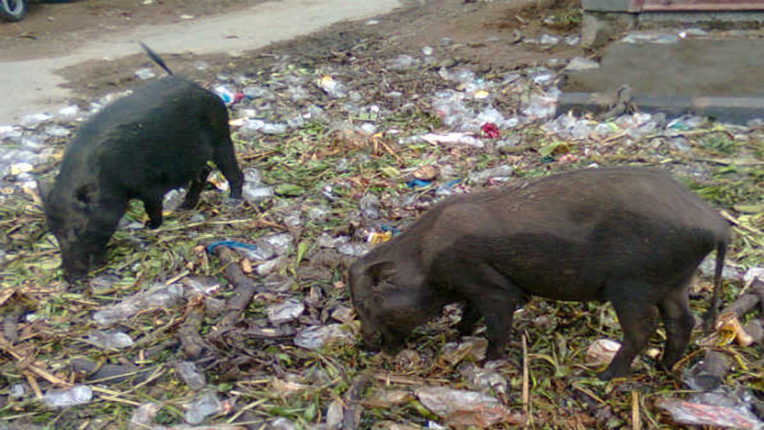 Pigs driving the city to avoid diseases, notice given to owners