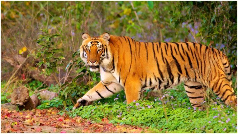 Tigress died of kidney disease