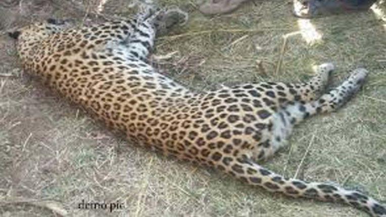 जंगली सुअर के हमले में तेंदुए की मृत्य