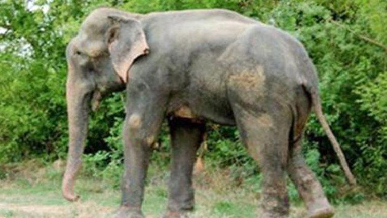 उपचार के दौरान हाथी की मृत्यु, कीचड़ में फंसने से था हुआ था बीमार
