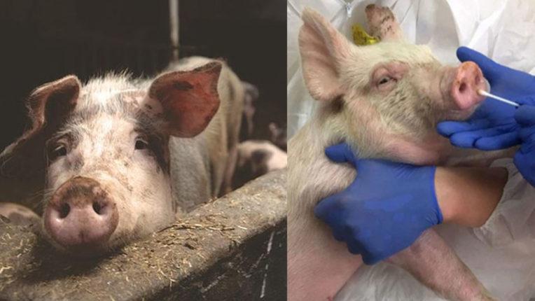 सूअरों ने बढ़ाई चीन की चिंता, महामारी का रूप ले सकता है  'स्वाइन फ्लू G4'
