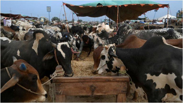 Cows locked in room, 43 cows died
