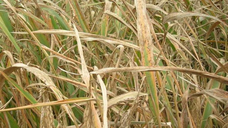 Unknown Disease outbreak on moong, farmers again stunned