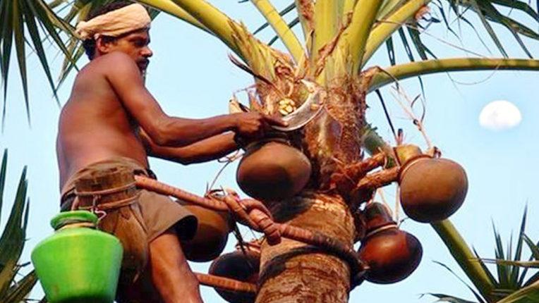 पेड से ताडी निकलते हुए (फाईल तस्वीर)