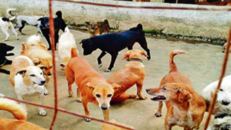 वसई-विरार में आवारा कुत्तों का आतंक, 1 माह में 1735 लोगों को कुत्तों ने काटा