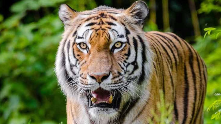 Tiger scare in Tohgaon, people afraid of going to farm