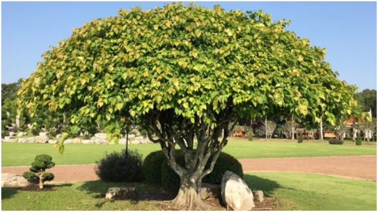 Learn the importance of Peepal tree and its benefits
