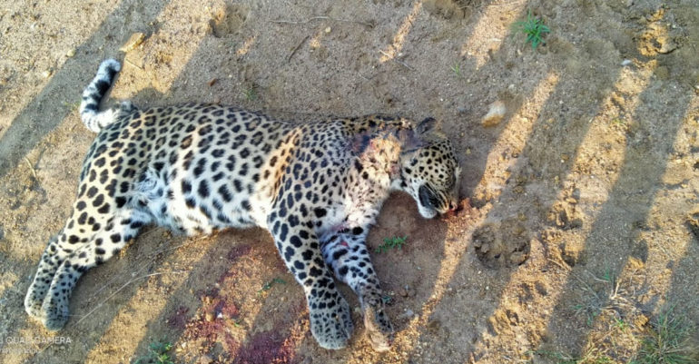 Leopards found dead in Londholi forest of Savli tehsil