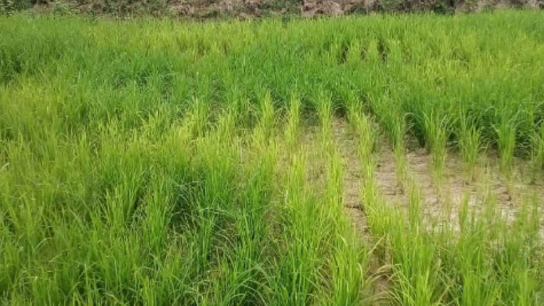 Paddy Field, soybean crop crisis due to lack of rain