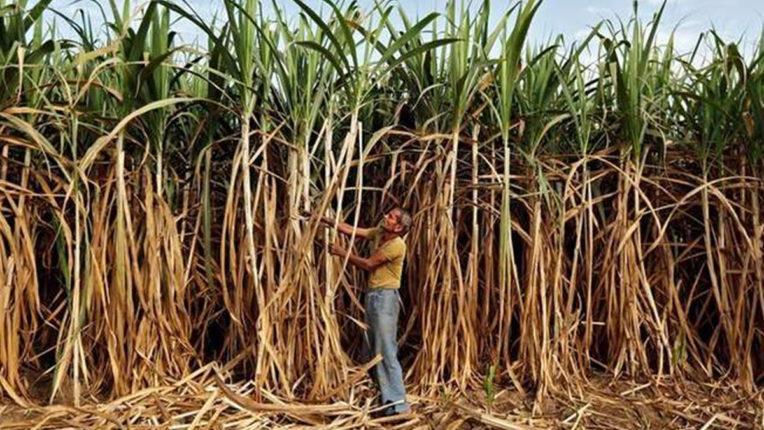 धान किसानों ने बढ़ाया गन्ना उत्पादन की ओर कदम