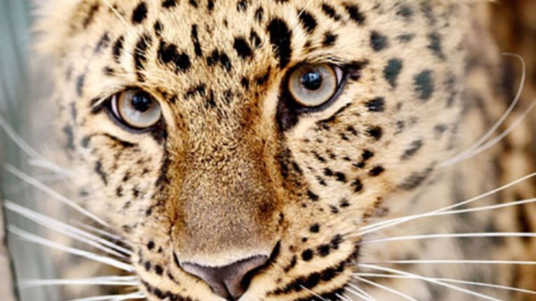 Endangered leopards seen in China after two decades