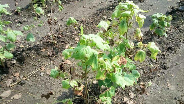 soybean Crop, Damage