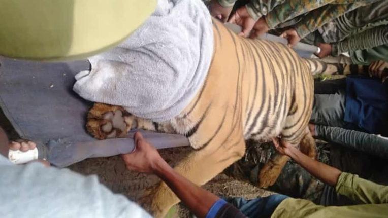 अंत में हमलावर बाघिन को पकडा, पाटनबोरी परिसर के नागरिकों ने ली राहत की सांस