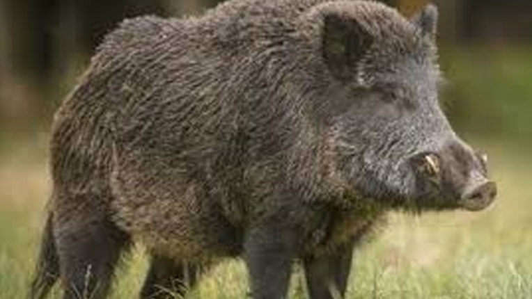 2 injured in wild pig attack