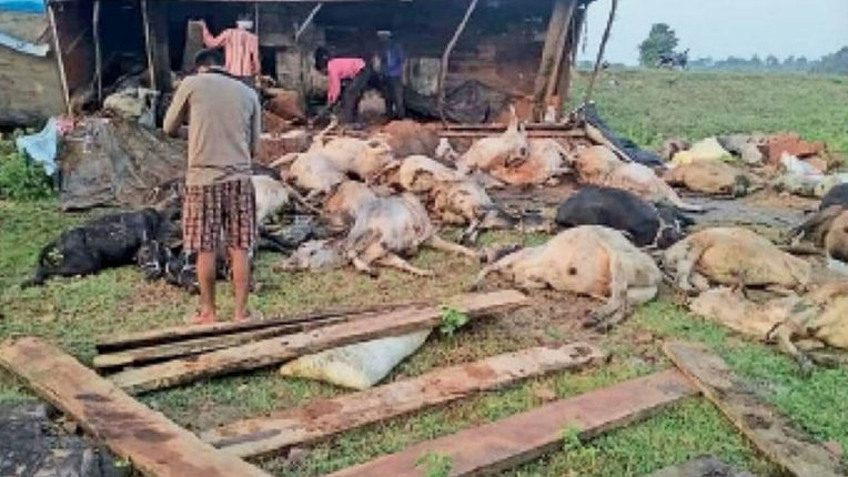 25 cattle died due to truck overturning