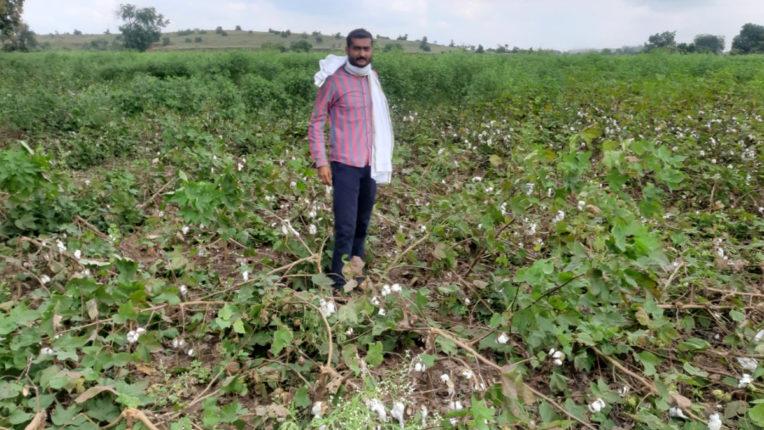 Cotton Crop Destroyed