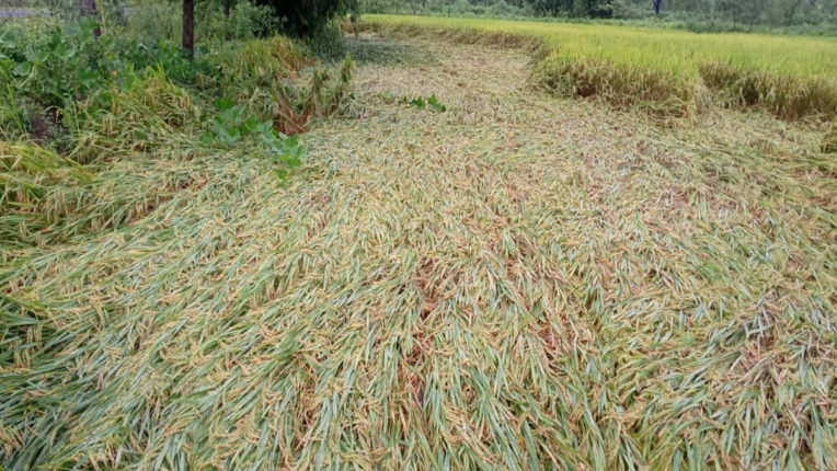 Crop Damage by Rain