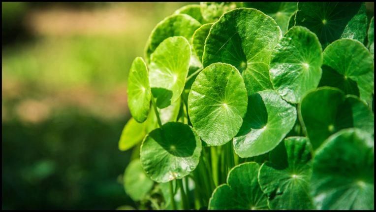 'Gotu kola' leaves make skin beautiful, use this way