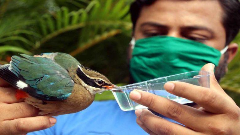 गर्मी की मार से दुर्लभ नवरंग पक्षी घायल