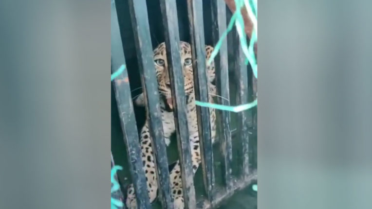 Leopard caught in cage in Chandrapur