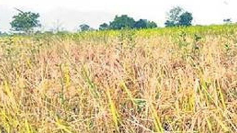 Paddy production declines this year
