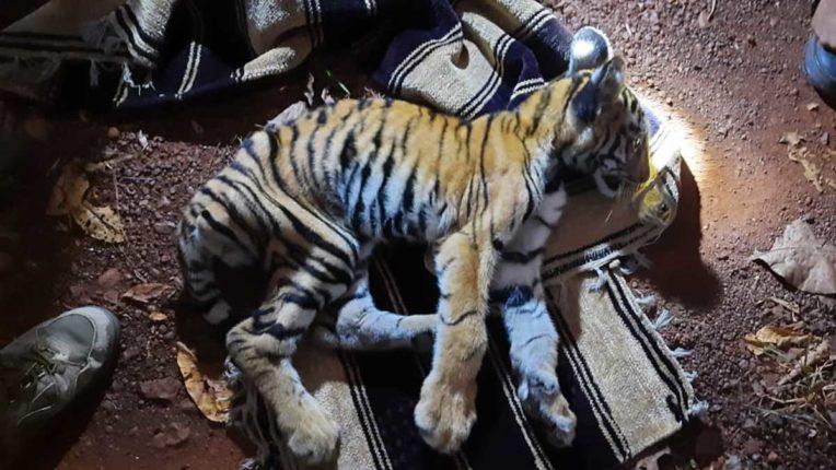 Tiger Cub death 01