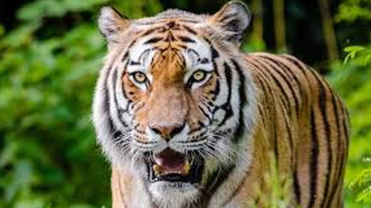 Tiger scare in paddy harvesters