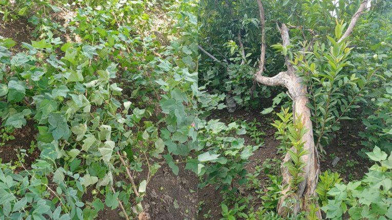 तूफानी बारिश ने बरपाया कहर, कपास की फसल जमीनध्वस्त