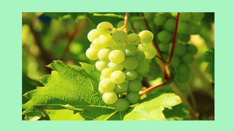 निर्यात करने वाले अंगूर के बागों का होगा पंजीकरण