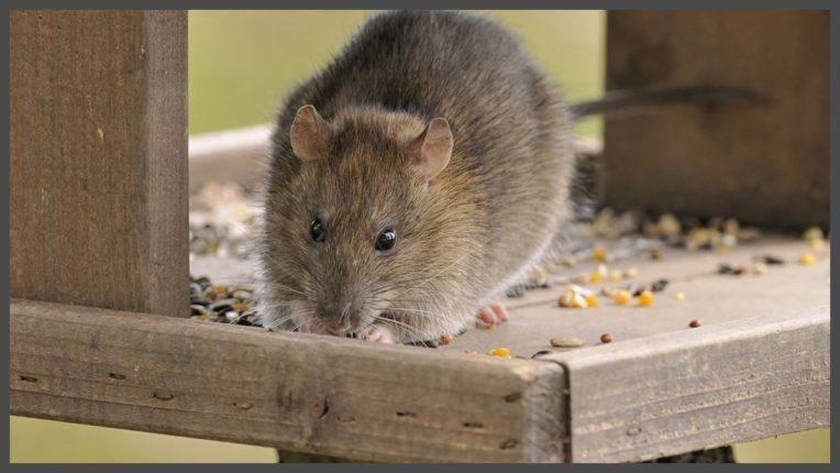 घर में चूहा होने से क्या होता है? और इसे घर से भगाने के उपाय