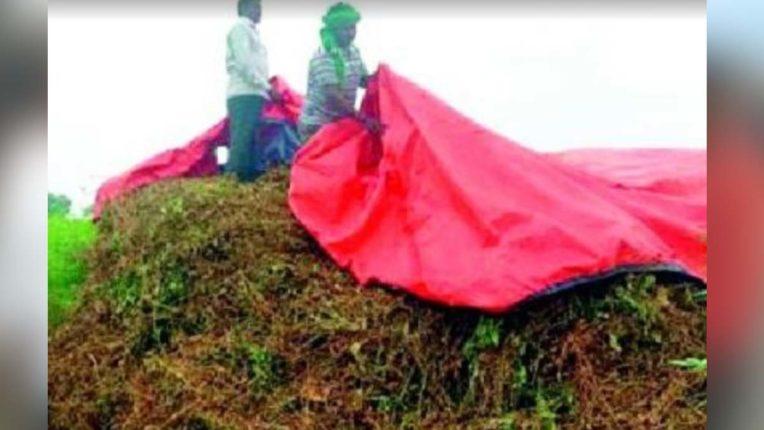 सोयाबीन की कटाई पर बारिश का संकट