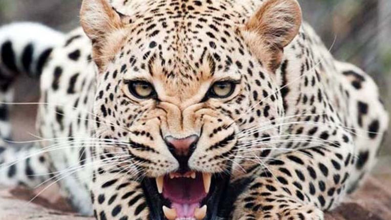 Leopard's Morsel became a goat