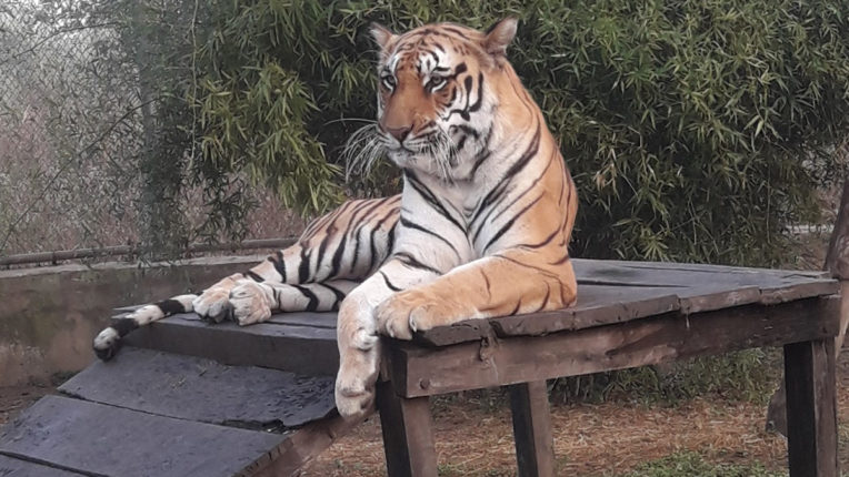 Rajkumar Tiger, Gorewada Zoo