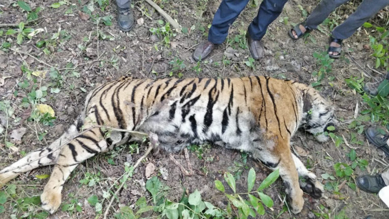 Tigress's body found in Karandla, tiger Death