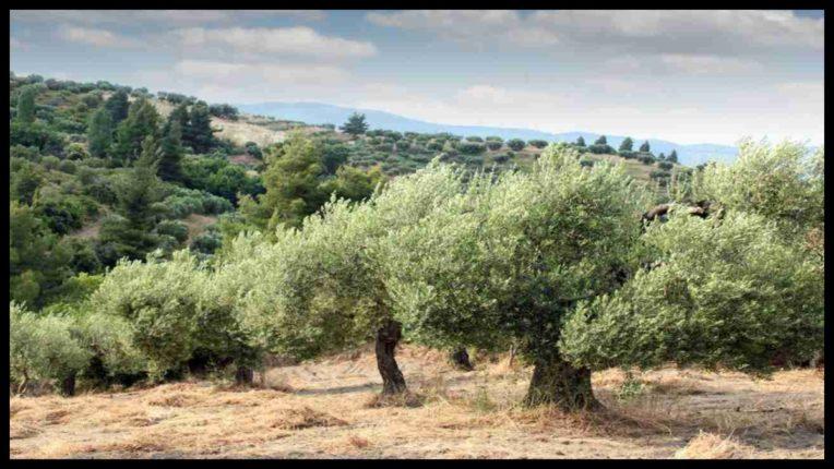 जैतून के पेड़ हैं पर्यावरण के लिए उपहार, लोगों की इस तरह करते हैं मदद