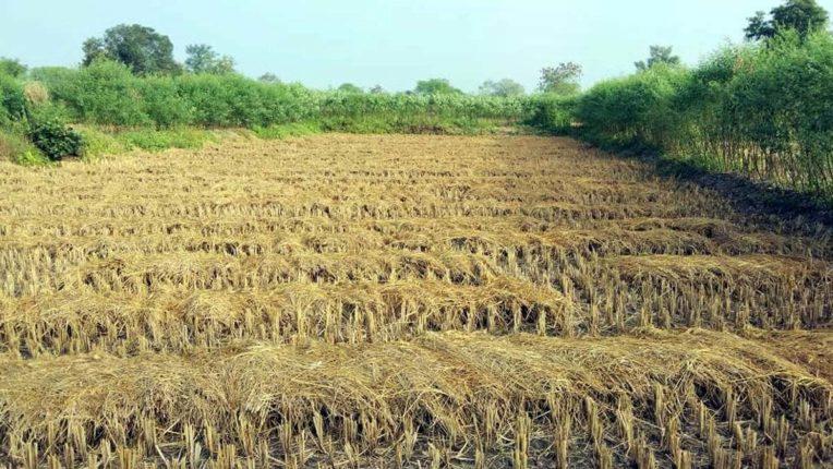 फसल समेटने के लिए किसानों की भागदौड़