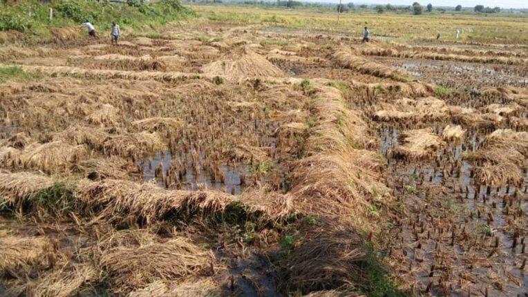 बेमौसम बरसात से हजारों हेक्टेयर के धान का नुकसान