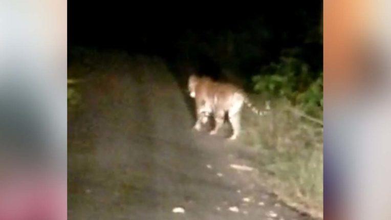 दहशत फैलाने वाला बाघ कैमरे में कैद