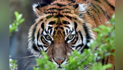 मध्यप्रदेश: 2020 में 26 बाघों की मौत, कहीं 'शिकारी' खुद तो 'शिकार' नहीं…