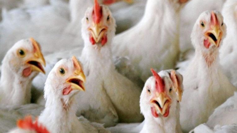 Bird flu crisis deepens in 16 districts
