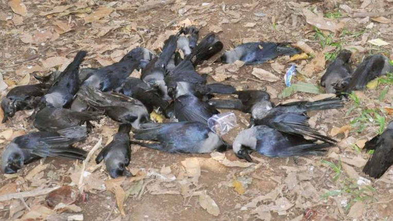 Crow Deaths