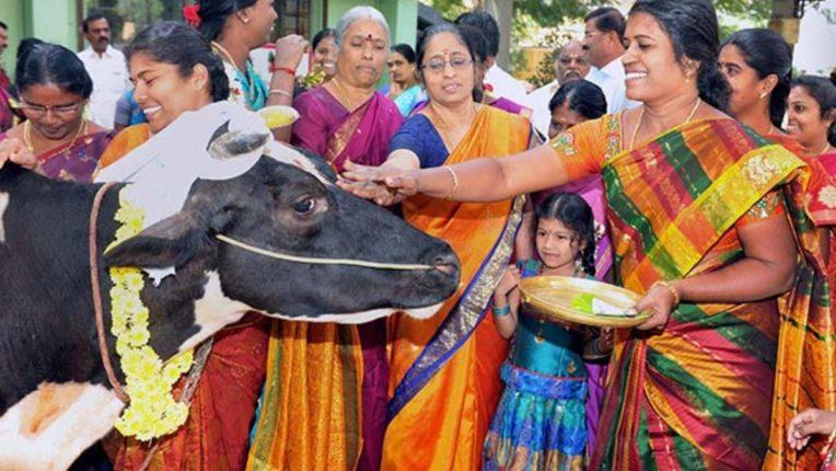 तमिलनाडु में पोंगल की धूम, 4 दिनों तक मनाया जाता है आस्था का त्यौहार