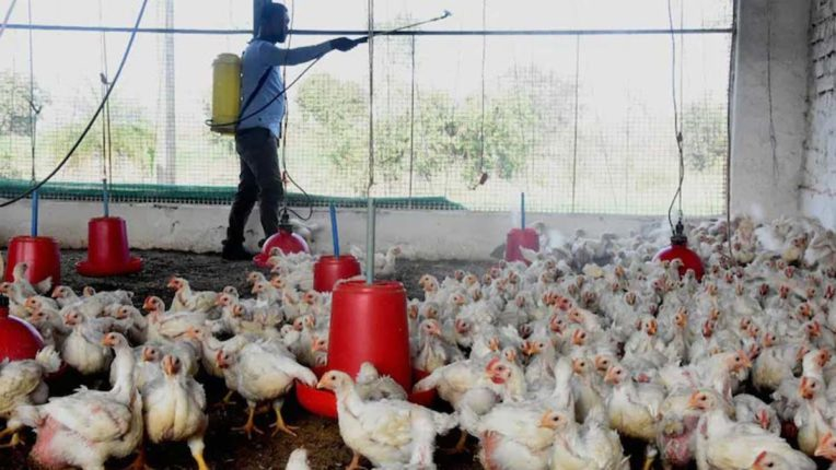 Two chickens report positive in Kalyan