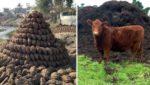 छत्तीसगढ़ में 800 Kg गाय का गोबर हुआ चोरी, चोर को ढूढ़ रही पुलिस