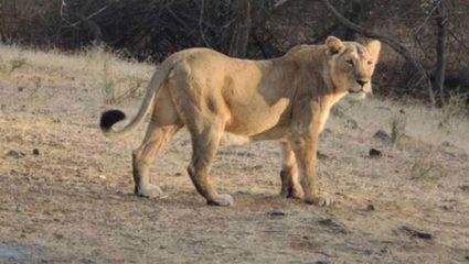 lioness dies of corona in chennai